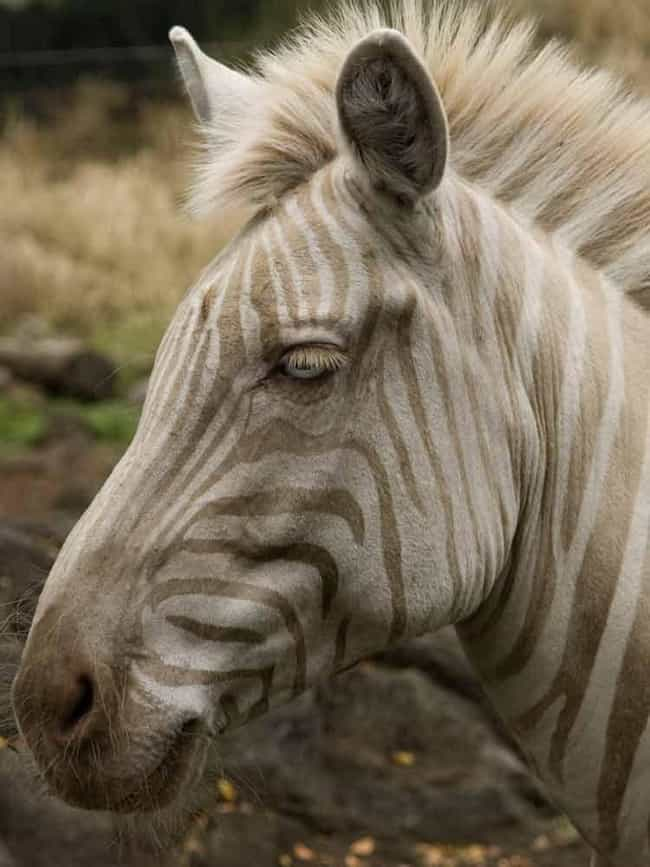 Plains Zebra is listed (or ranked) 4 on the list 20 Mind-Blowing Photos Of Half Albino (AKA Leucistic) Animals