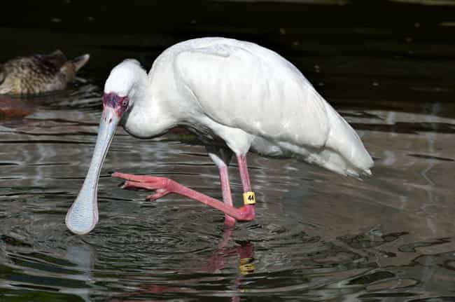 Spoonbill is listed (or ranked) 3 on the list The Weirdest And Scariest Bird Beaks