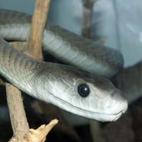 Black Mamba is listed (or ranked) 1 on the list The Scariest Animals in the World