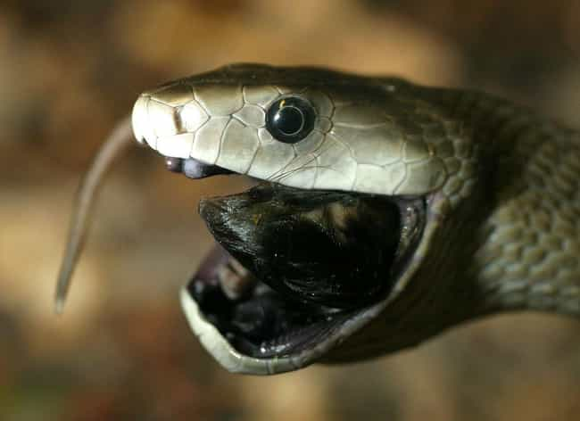 Black mamba is listed (or ranked) 2 on the list 30 Terrifying Close-Up Photos of Snakes