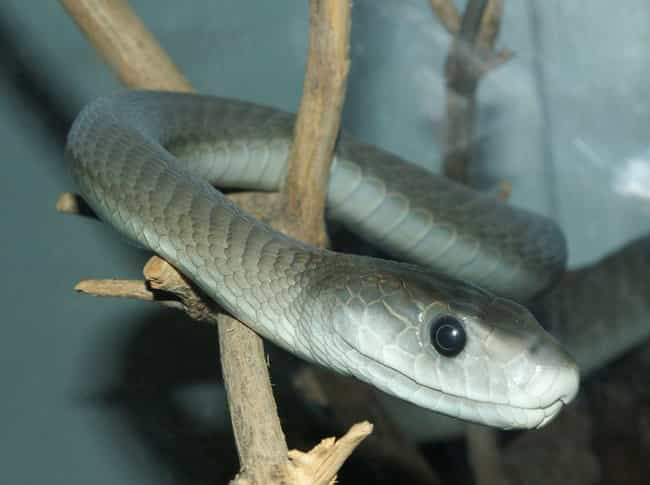 Black mamba is listed (or ranked) 2 on the list The Scariest Types of Snakes in the World