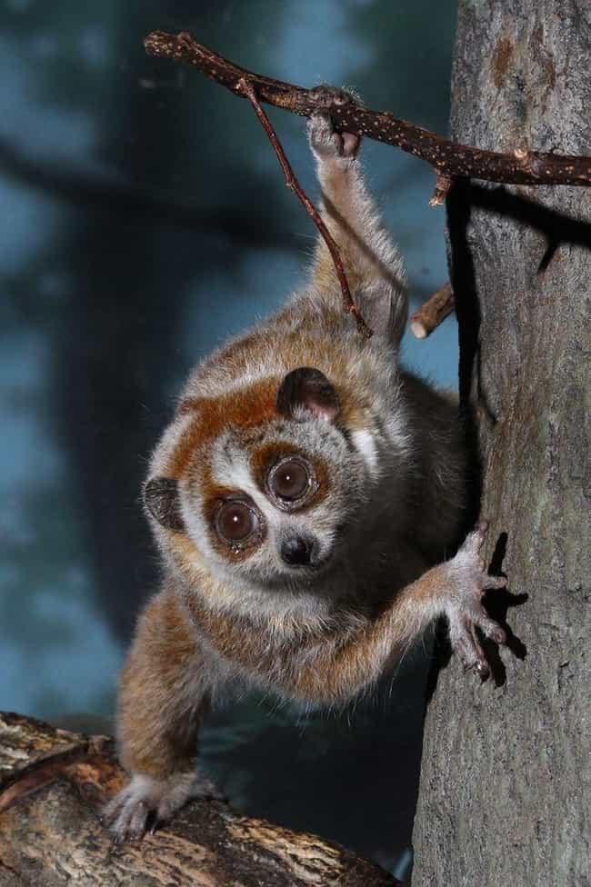 Slow loris is listed (or ranked) 2 on the list 28 Cute Animals That You Don't Want To Mess With