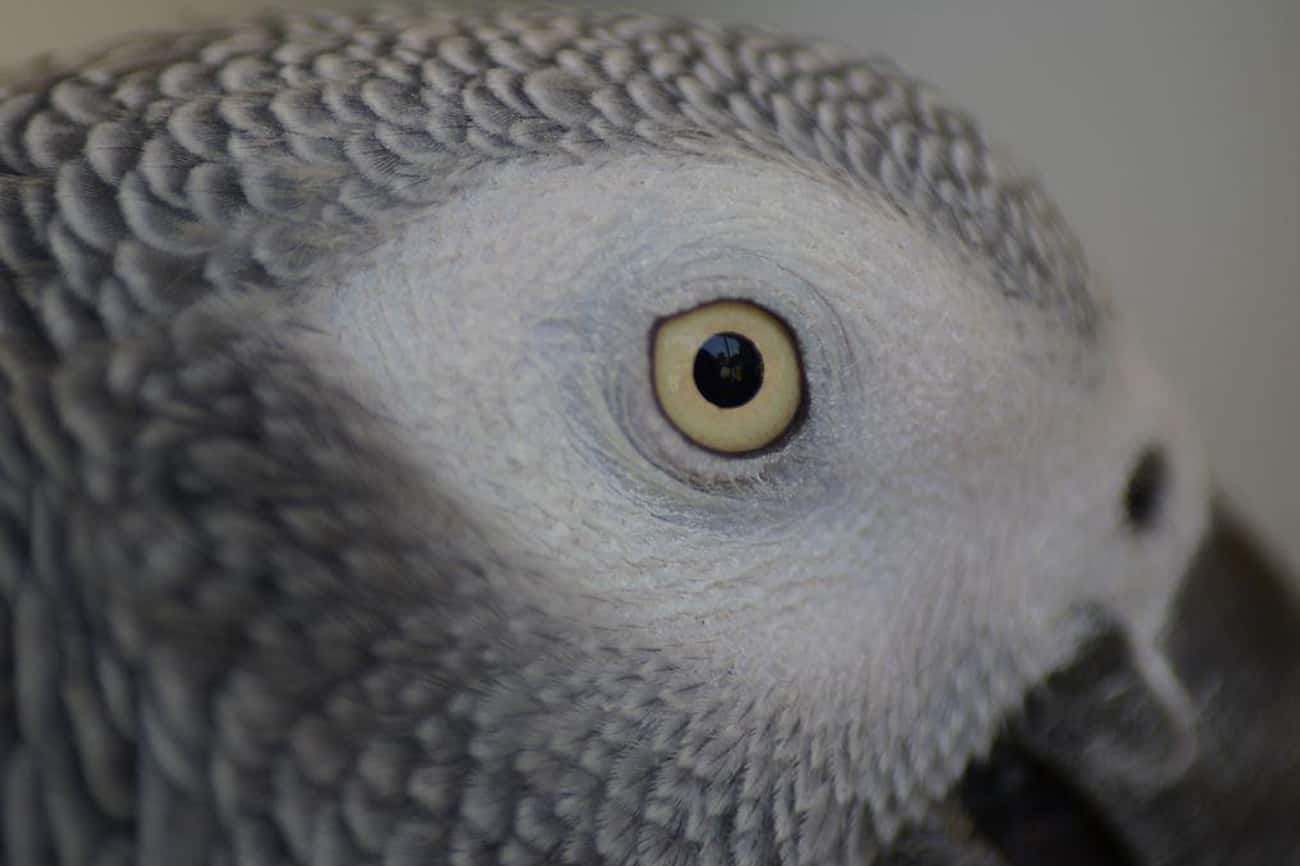 African Grey Parrot is listed (or ranked) 3 on the list Birds That Make the Best Pets