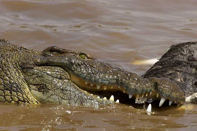 Nile crocodile is listed (or ranked) 2 on the list 12 Insane, Otherworldly Creatures Of The Nile River You'd Never Want To Encounter