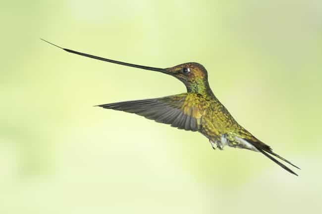 Sword-billed Hummingbird... is listed (or ranked) 4 on the list 17 Of The Weirdest Bird Beaks Found In Nature