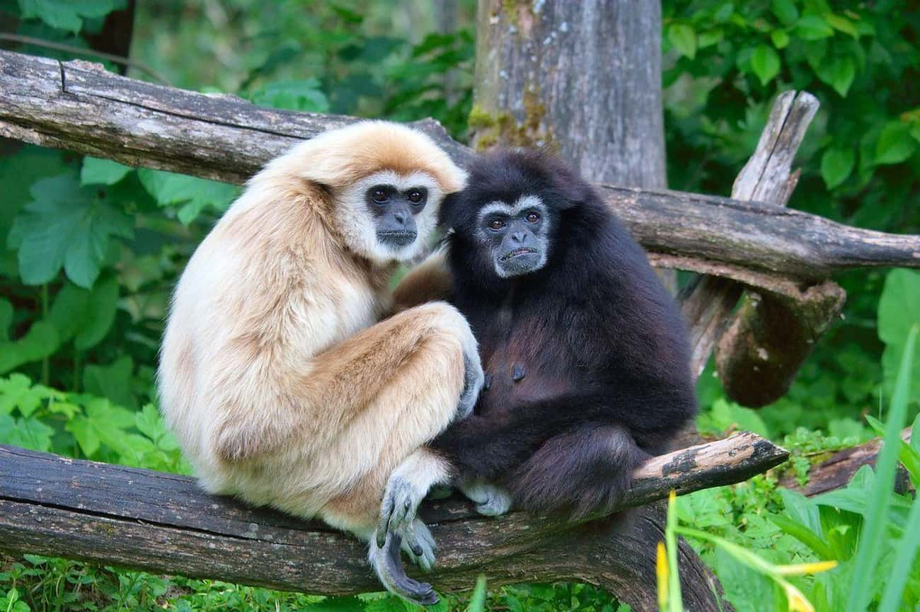 Gibbons is listed (or ranked) 2 on the list 13 Monogamous Animals That Mate For Life