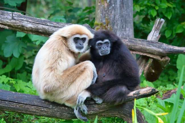 Gibbon is listed (or ranked) 2 on the list 13 Monogamous Animals That Mate For Life