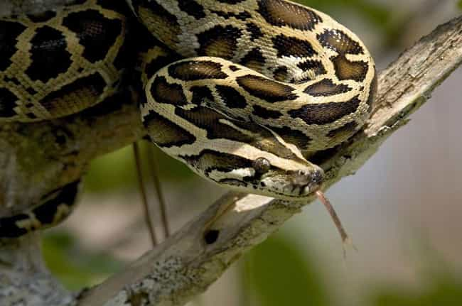 Burmese Python is listed (or ranked) 5 on the list 13 Wild Animals That Cause Serious Problems In Florida