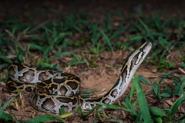 Burmese Pythons In The United States