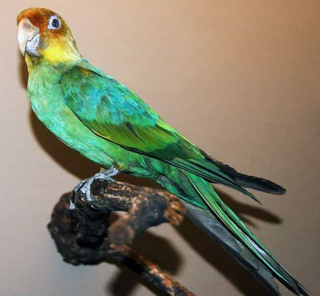 Carolina Parakeet is listed (or ranked) 3 on the list Animals American Settlers Would Have Seen, But You Never Will