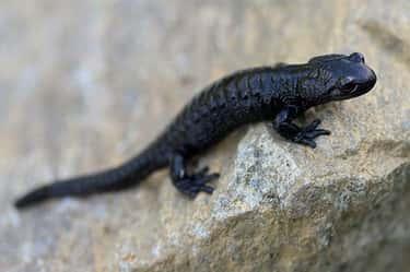 Alpine Salamander - 1,095 Days (36 Months)