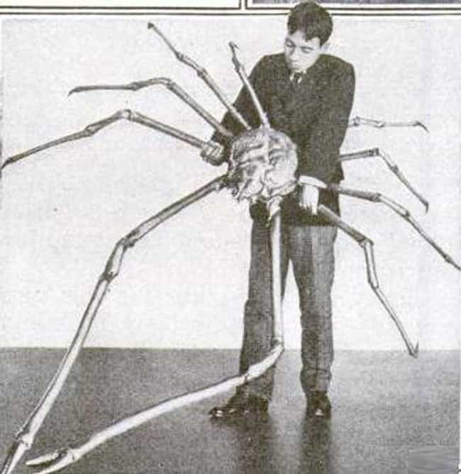 Japanese spider crab is listed (or ranked) 2 on the list Horrifying Examples Of Abyssal Gigantism