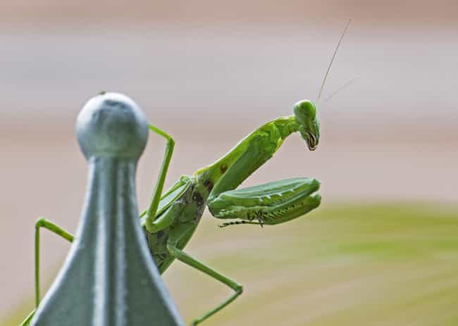 European mantis is listed (or ranked) 2 on the list 15 Animals Who Have Insanely Violent Sex