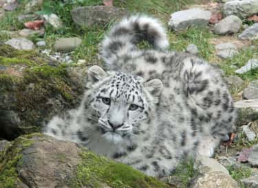 Snow Leopards is listed (or ranked) 2 on the list The Biggest and Best Big Cats