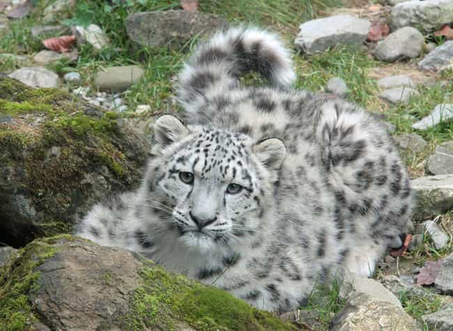 Snow Leopard is listed (or ranked) 2 on the list The Biggest and Best Big Cats