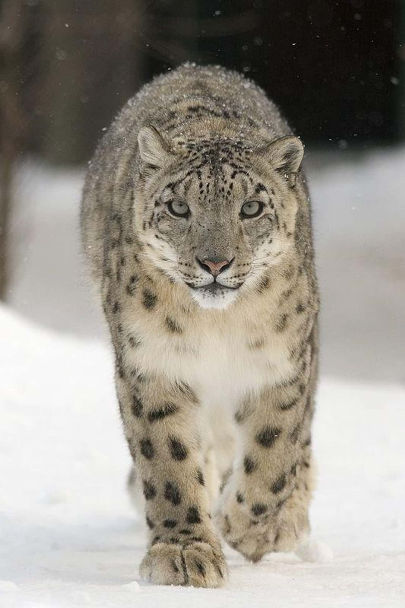 Snow Leopard is listed (or ranked) 2 on the list The World's Most Beautiful Animals