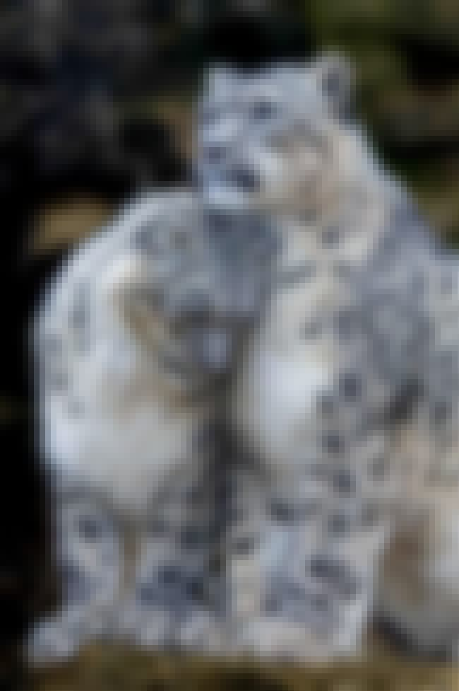 Snow Leopard is listed (or ranked) 1 on the list The Biggest and Best Big Cats