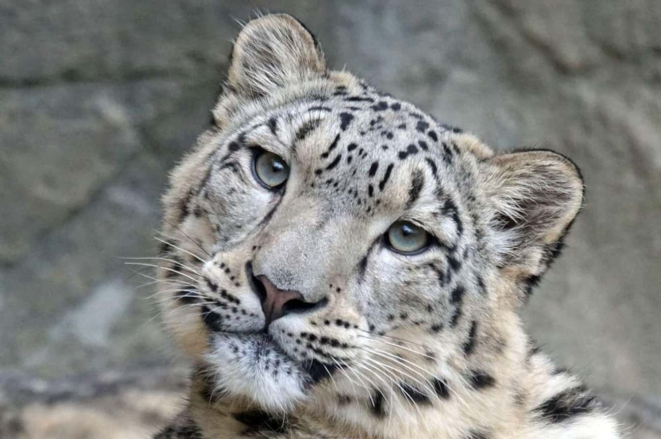 Snow Leopard is listed (or ranked) 1 on the list Animals That People Mistakenly Think Are Endangered - But Actually Aren't