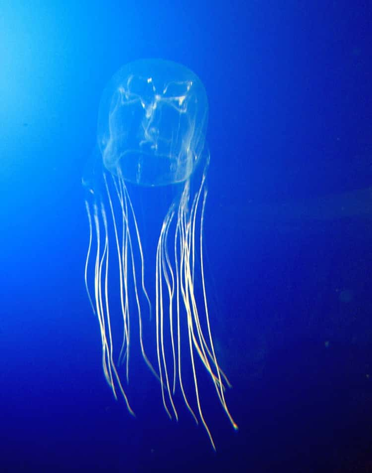 The Box Jellyfish Can Stop Your Heart