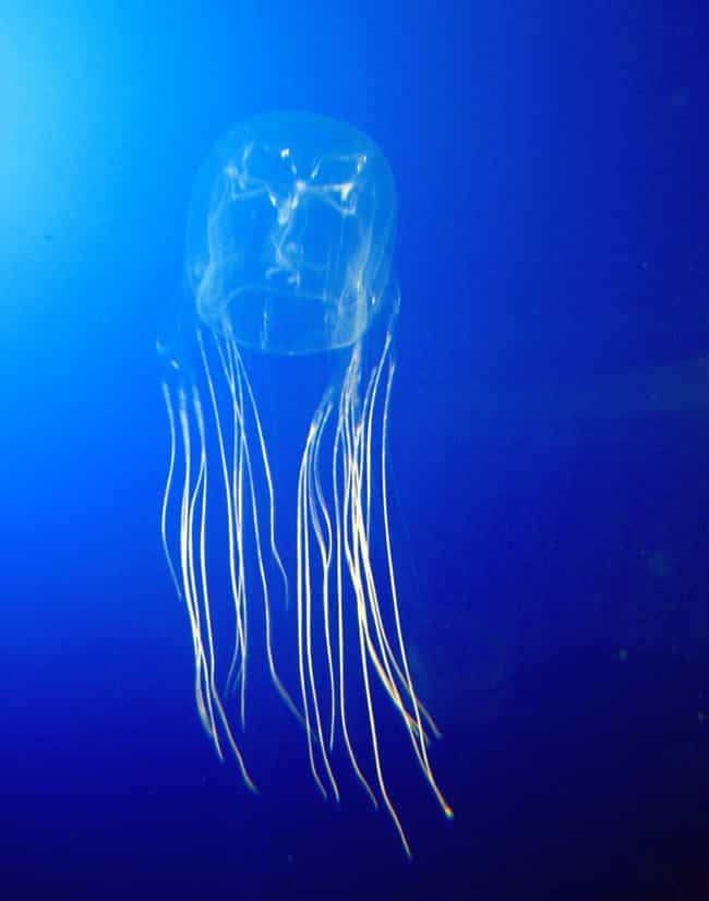 Box jellyfish is listed (or ranked) 2 on the list 14 Of The Deadliest Animals In Florida