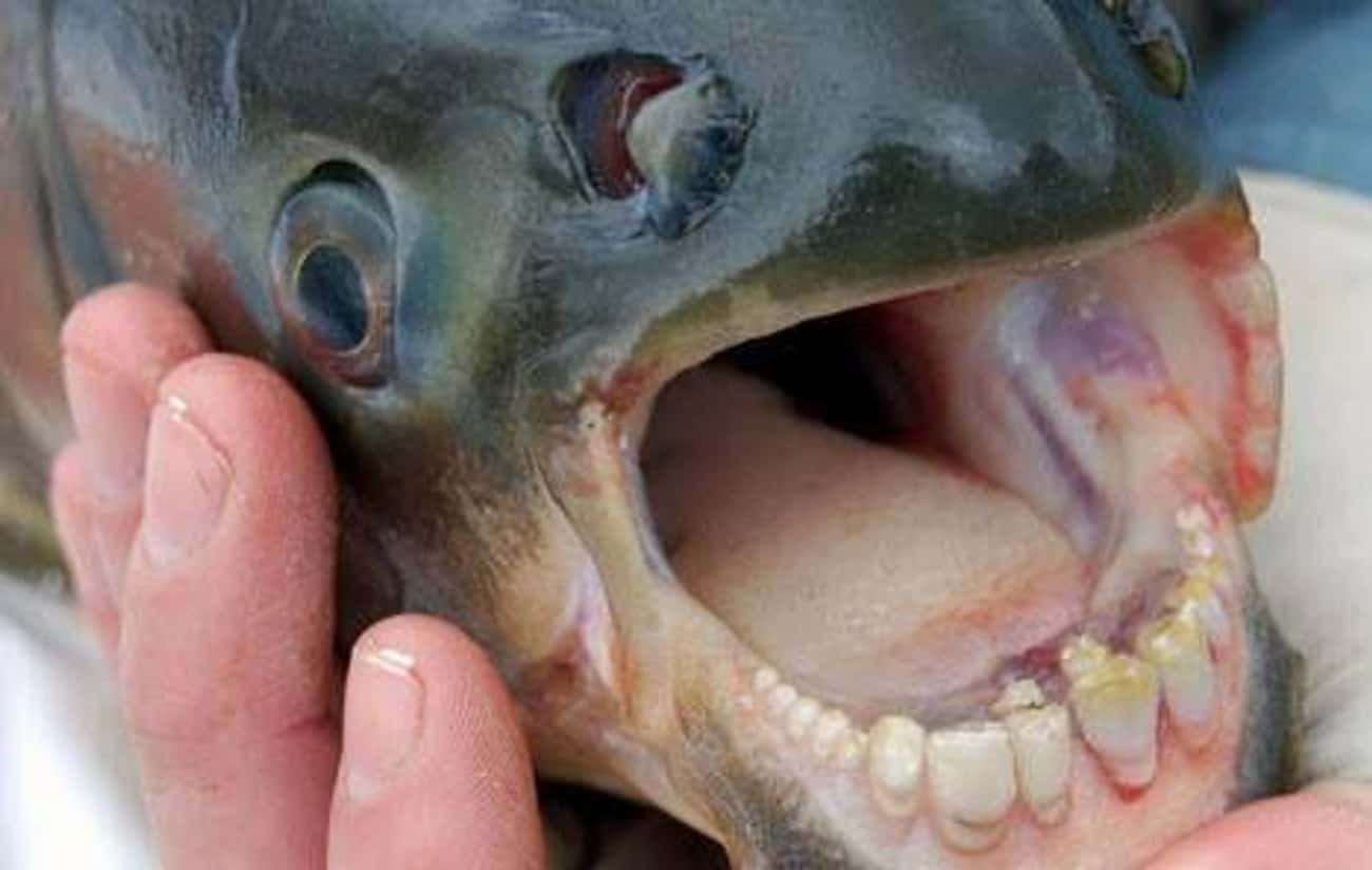 Pacu is listed (or ranked) 4 on the list Rare Animals That Look Fake But Are In Fact 100% Real
