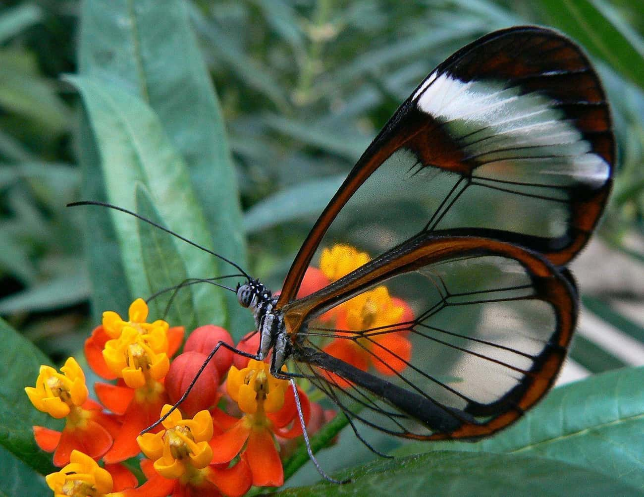 The Glasswinged Butterfly Has  is listed (or ranked) 2 on the list 10 Real Transparent Animals That Let You Take a Peek at Their Insides