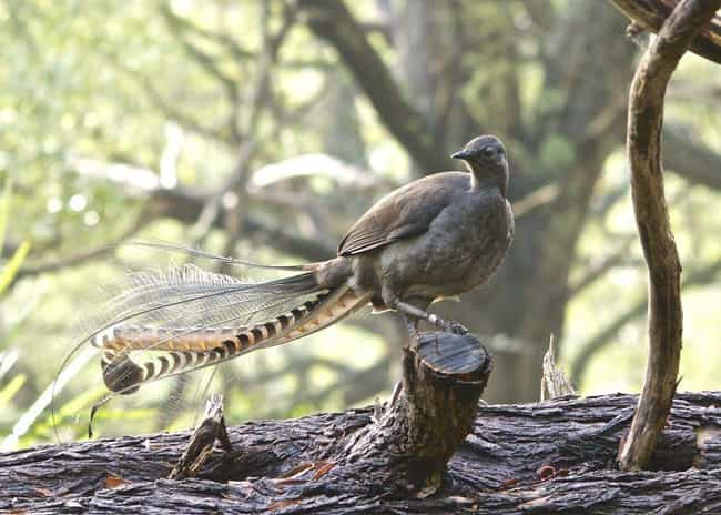 Lyrebird is listed (or ranked) 3 on the list Real Animals That Literally Have Superpowers