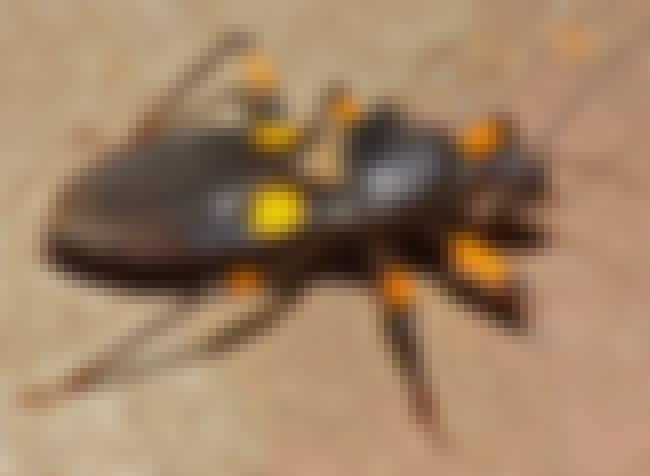 Platymeris biguttatus is listed (or ranked) 4 on the list The Scariest Types of Insects in the World