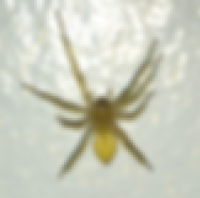 Yellow sac spider is listed (or ranked) 3 on the list The Scariest Types of Spiders in the World