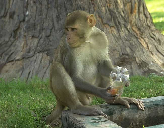 Rhesus Macaque is listed (or ranked) 3 on the list 13 Animals That Are Wreaking Havoc In Florida Right Now