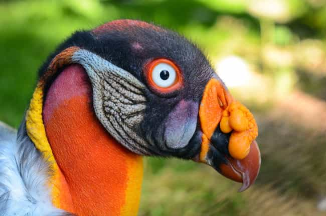 King Vulture is listed (or ranked) 2 on the list The Weirdest And Scariest Bird Beaks