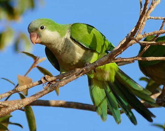 Monk Parakeet is listed (or ranked) 7 on the list 13 Wild Animals That Cause Serious Problems In Florida