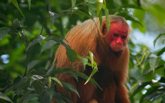 Bald Uakari is listed (or ranked) 3 on the list 13 Of The Strangest-Looking Primates In Nature
