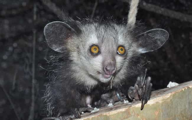 Aye-aye is listed (or ranked) 3 on the list Wonderful Animals With The Biggest Ears In The World