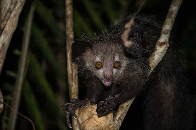 Aye-aye is listed (or ranked) 3 on the list Insanely Cool Animals You Can Only Find In Madagascar