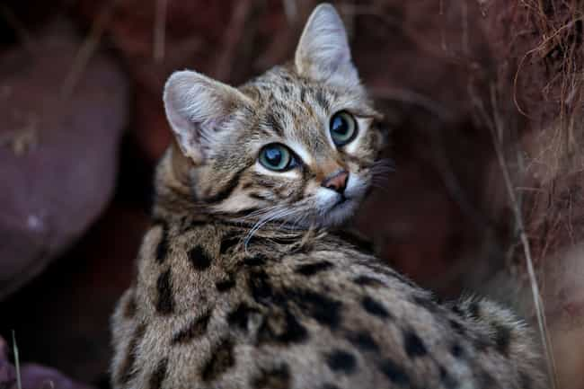 Black-footed Cat is listed (or ranked) 4 on the list 14 Wild Dog And Cat Species That Are Amazingly Rare