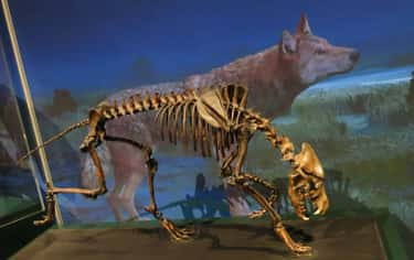 Dire Wolf is listed (or ranked) 1 on the list Extinct Wolf Species, From Prehistoric Times to Now