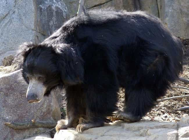 Sloth Bear is listed (or ranked) 8 on the list The Scariest Types of Bears in the World