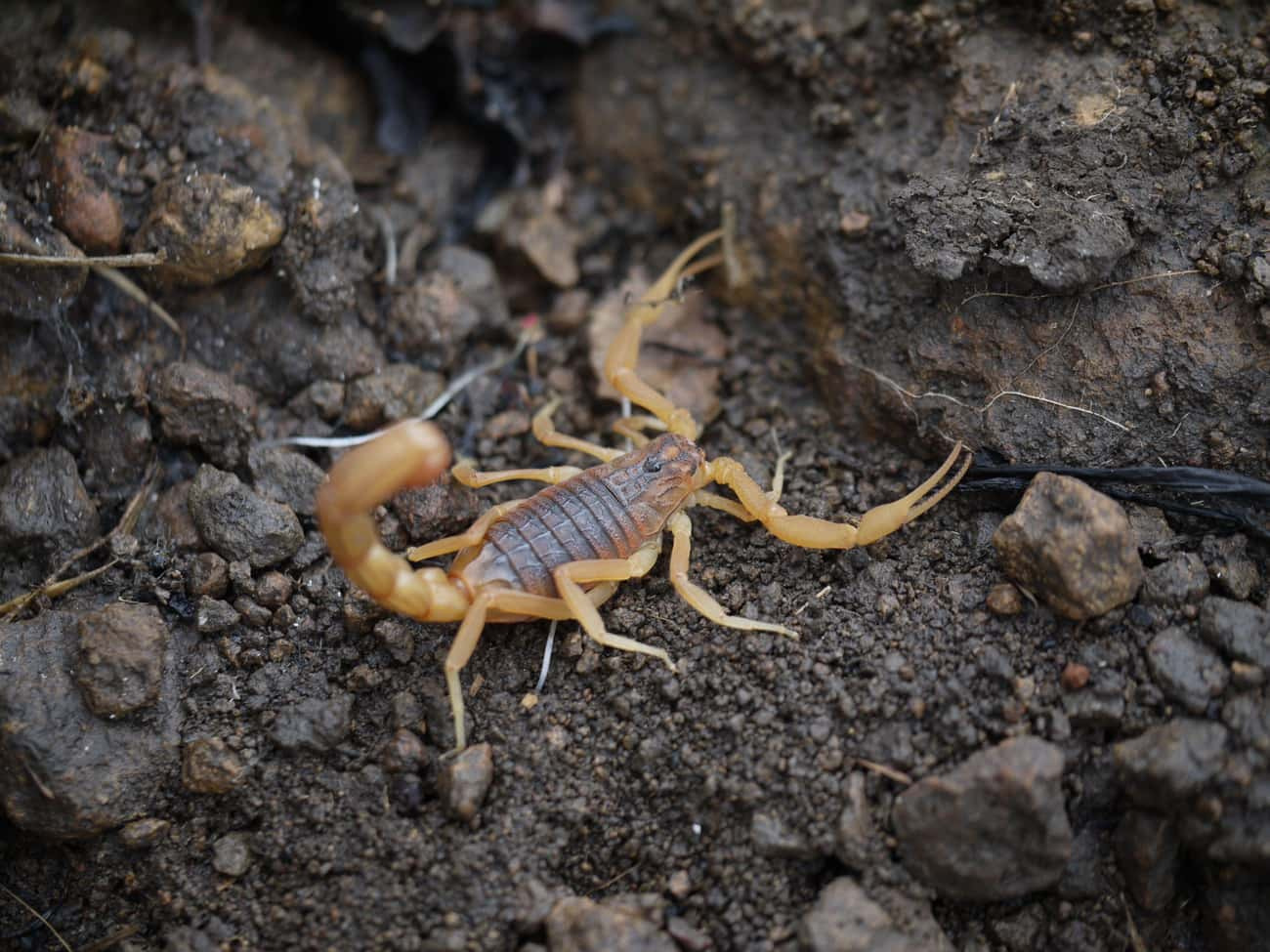 The Indian Red Scorpion Is One is listed (or ranked) 1 on the list 11 Nightmare Creatures You Never Want To Encounter In India