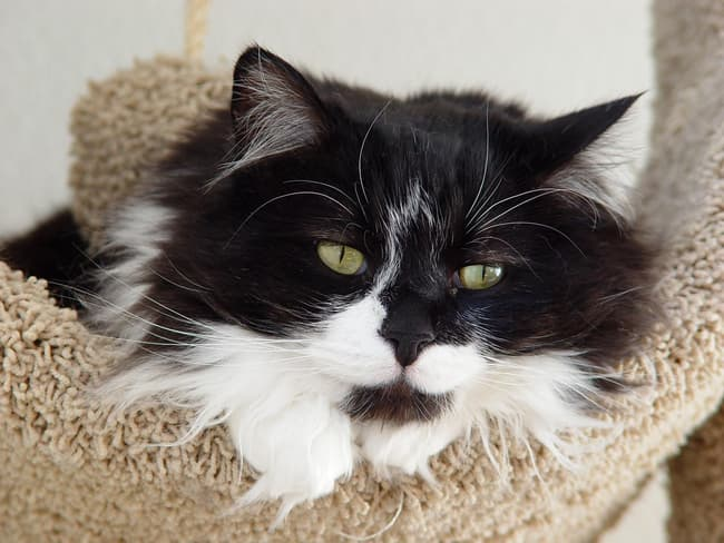 Domestic Longhaired Cat Is Listed Or Ranked 7 On The List The Best Long