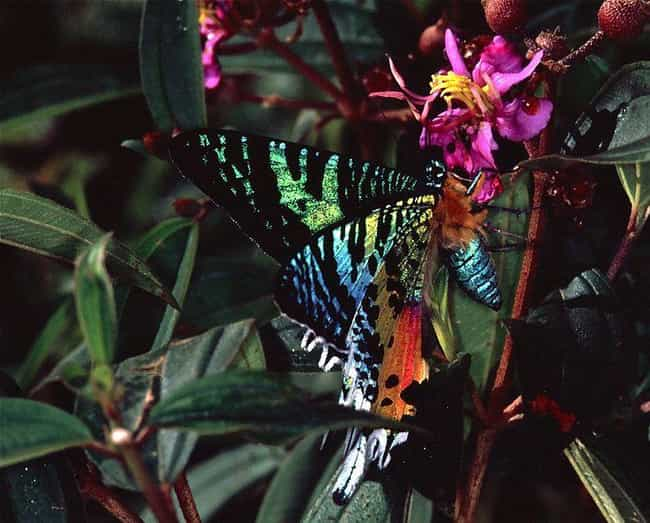 Chrysiridia ripheus is listed (or ranked) 4 on the list 15 Vibrant Rainbow Animals That Most People Don't Realize Exist