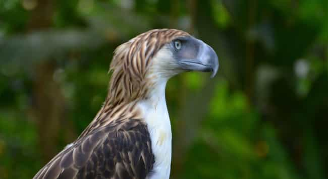 Philippine Eagle is listed (or ranked) 1 on the list The Most Interesting Birds on Earth