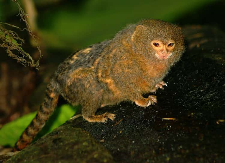 Infant Pygmy Marmosets babble to develop their language skills, similarly to the way human babies babble.