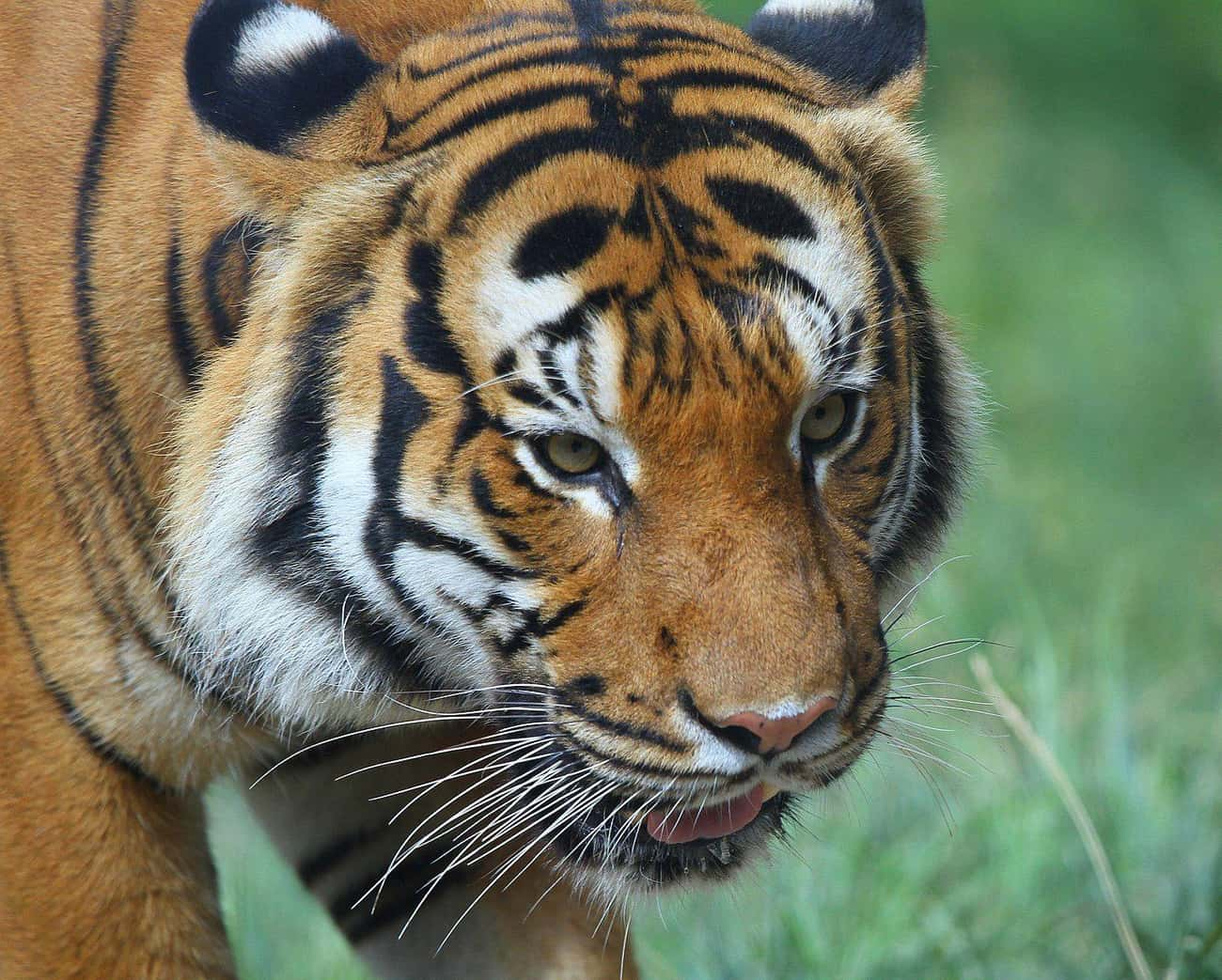 Malayan Tiger is listed (or ranked) 4 on the list The World's Most Beautiful Animals