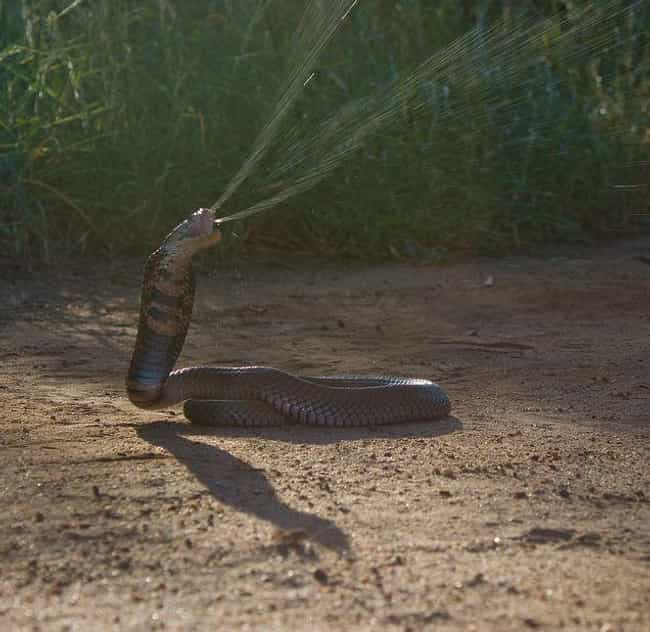 Spitting cobra is listed (or ranked) 1 on the list These Horrifying Animals From Thailand Will Make You Rethink That Beach Vacation