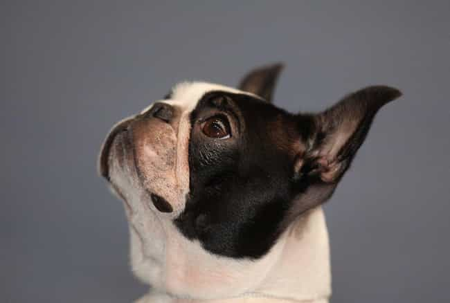 Boston Terrier is listed (or ranked) 4 on the list The Most Popular Dog Breed In The US During Every Decade Since 1900