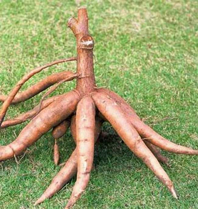 Cassava is listed (or ranked) 1 on the list The Top 10 Most Dangerous Fruits and Vegetables in the World
