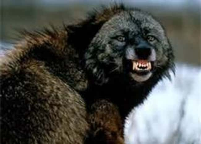 Wolverine is listed (or ranked) 17 on the list 28 Cute Animals That You Don't Want To Mess With