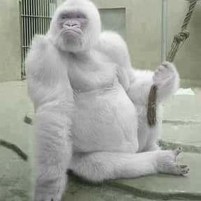 Albino Gorillas