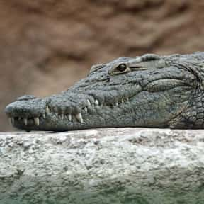 Crocodile/Alligator is listed (or ranked) 21 on the list The Scariest Animals in the World